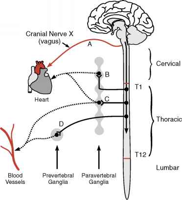 Vagal Innervation Vessel