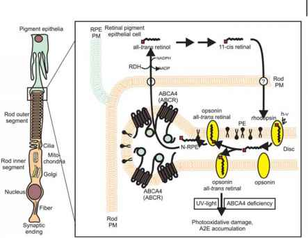 Rod Photoreceptors