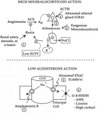 what is the normal relationship between plasma renin and aldosterone