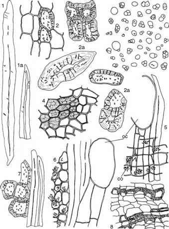 Microscopic Features Of Cinnamon Bark - Cinnamon Bark
