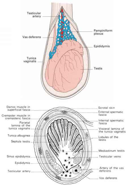 Blood Supply Testis Testicular Artery