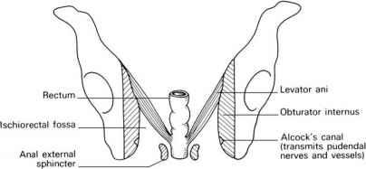 Ischiorectal fossa anatomy