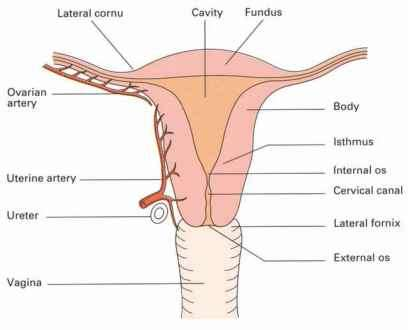 Vaginal structure clinical features click to cure cancer anterior wall are situated transversely this allows for filling of the bladder and for intercourse in contrast the rugae on the posterior wall run ccuart Choice Image