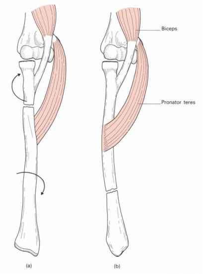 Biceps Supinator