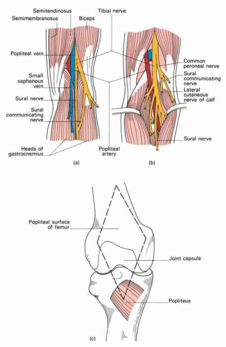 Anatomy of Popliteal Fossa Pics Floor The Popliteal Fossa