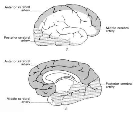 Blood Supply Cerebral Cortex