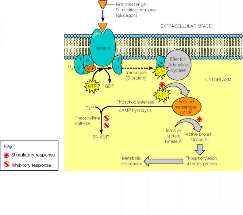 thyroid hormone action and receptors Home » physiology » hormones- mechanism of action, regulation and mechanism of action of hormones: hormone receptors: loop is seen in control of thyroid.