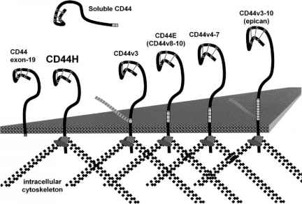 Alternative Splicing Cd44