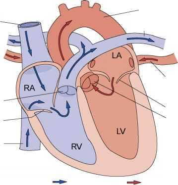 Superior Vena Cava Heart Diagram