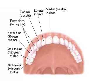 Adult Molars Turning Outward