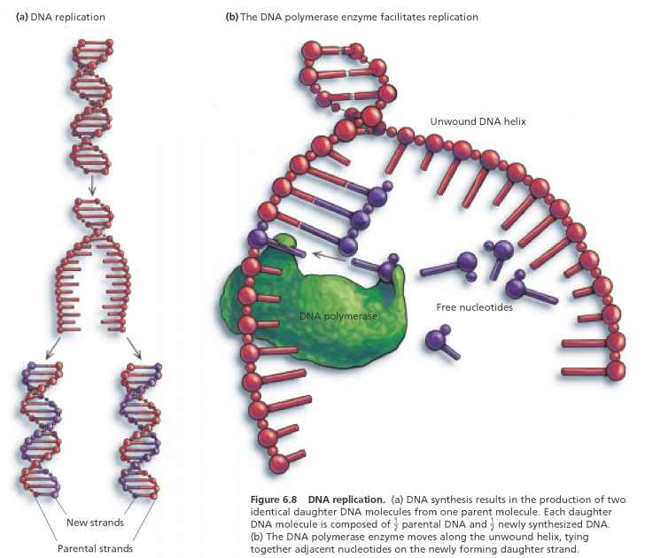 Dna Replication Adding Nucleotides