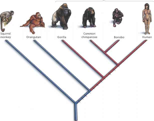 Linnaean Classification Primates