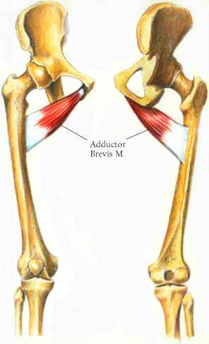 Abdomen Adductor Muscles