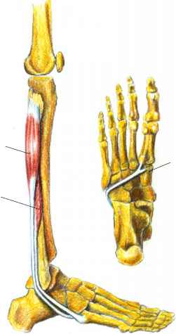 Picture The Peroneus Longus Tendon