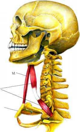 Bones The Neck And Hyoid Bone