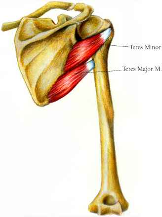 Posterior Pectoralis Minor Muscle