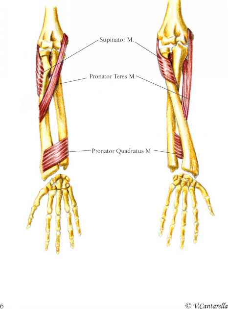Supinator Muscle
