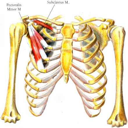 Subclavius Muscle