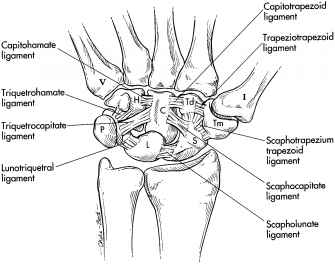 Intrinsic Carpal Ligaments