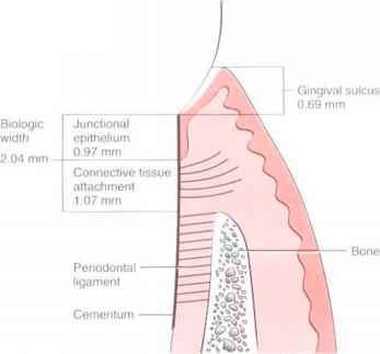 Dentogingival Epithelium