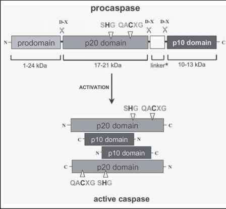 Procaspase Activation Plants