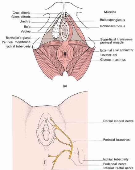 Posterior Perineal Triangle