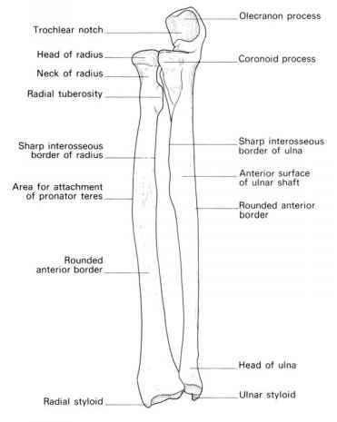 Ulna With Features