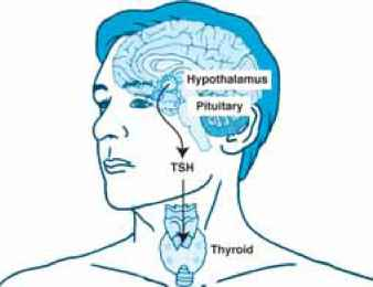 Hypothalamus Pituitary Tsh Thyroid Axis