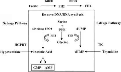 Folate Metabolism Dhfr