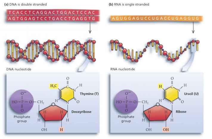 dna nucleotide ba self reliance - 711×465