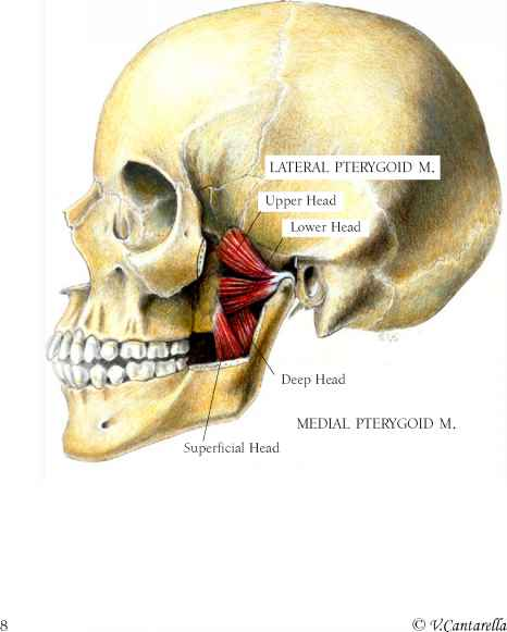 Severe Tighting In The Sternohyoid Muscle - Muscle Arises