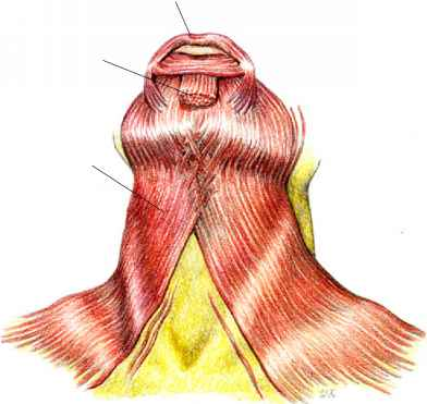 severe tighting in the sternohyoid muscle muscle arises