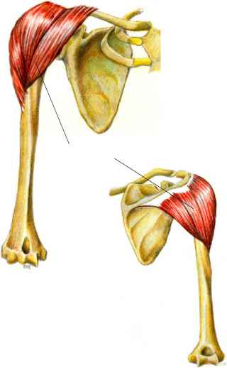 posterior view - muscle arises