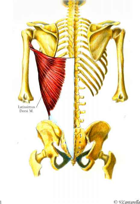 Posterior View Muscle Arises Click To Cure Cancer