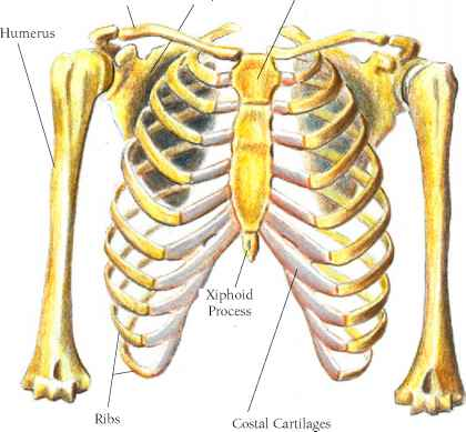 The Anconeus Muscle - Muscle Arises - Click to Cure Cancer | 420 x 389 jpeg 19kB