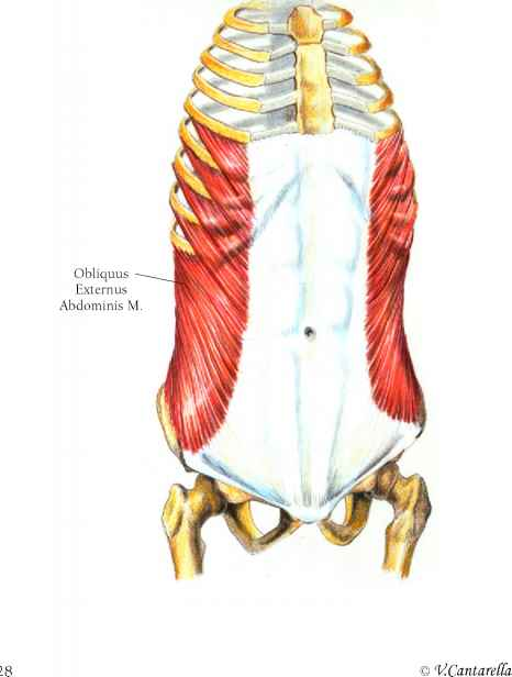The Abdomen - Muscle Arises - Click to Cure Cancer