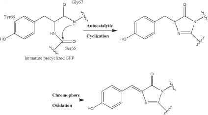 Cyclization Peptide Chromophore Gfp
