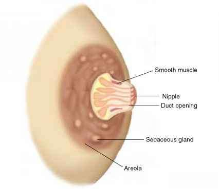 breast Aerola of