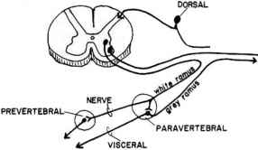 Sympathetic Nerve Routes