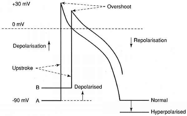 Tmp Action Potential Phases
